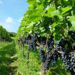 Weinberg Metzingen FWV Metzingen lädt ein zur Weinwanderung